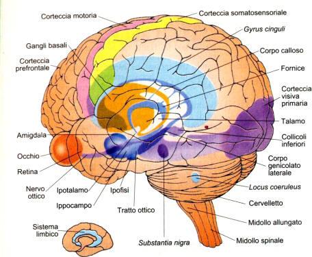 sistema_limbico.jpg
